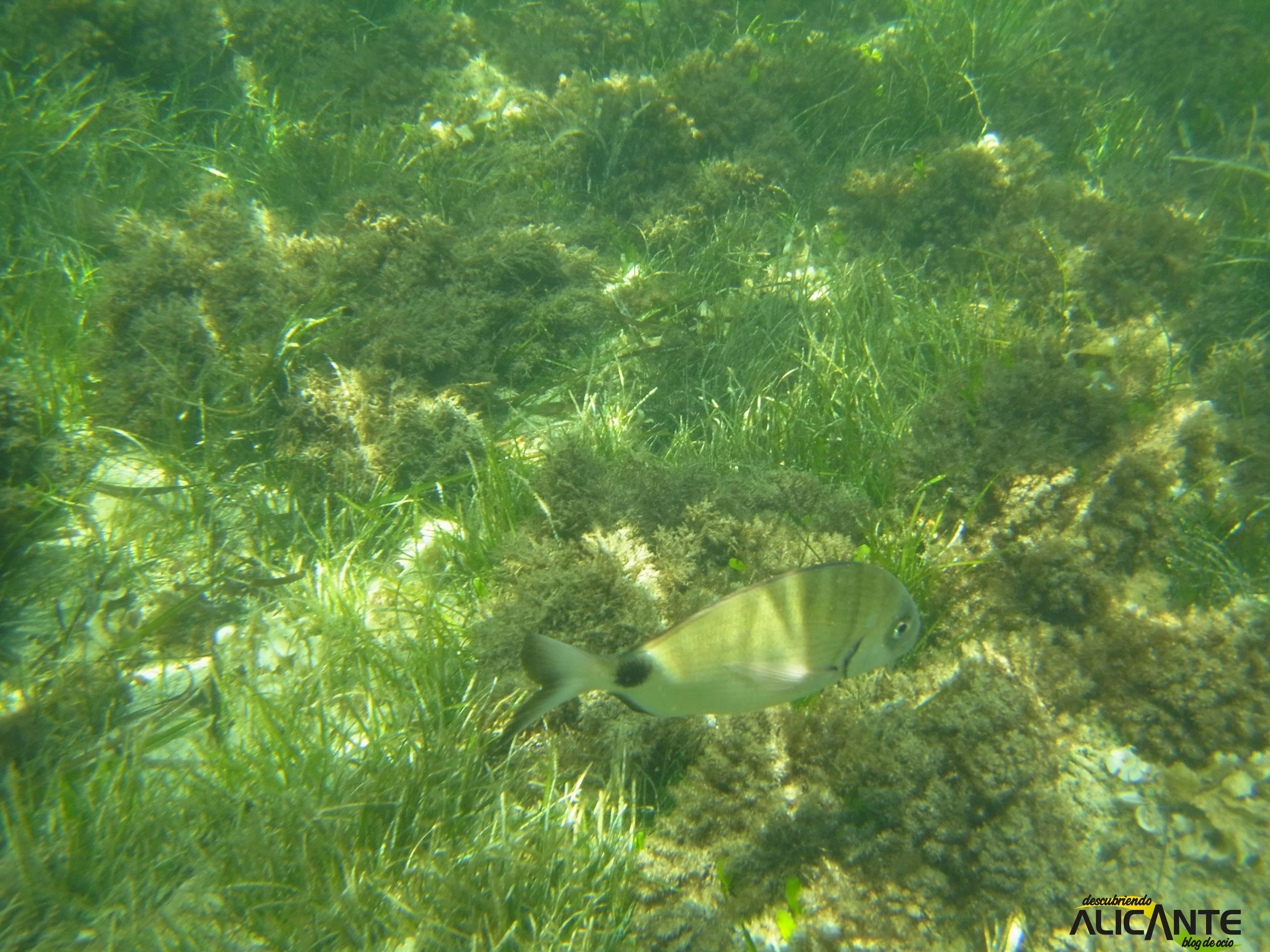 snorkel-en-tabarca-fondo-marino-2014-1