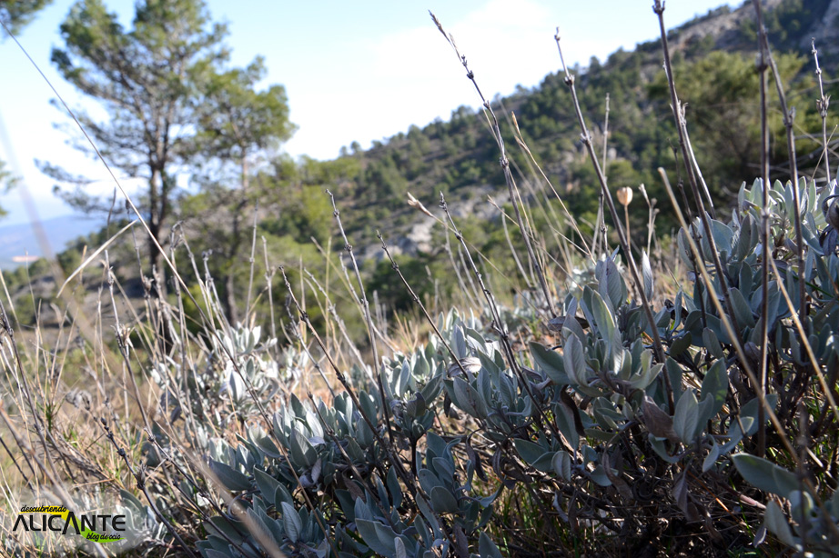 salvia-vegetacion-sierra-mariola
