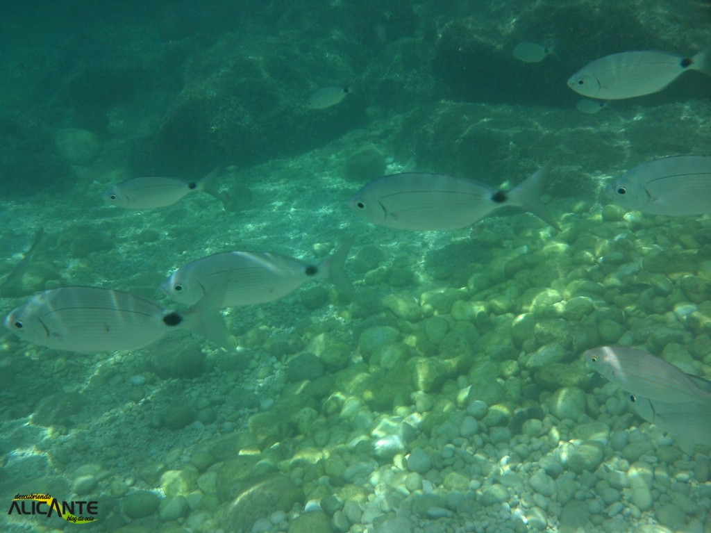 snorkel-en-cala-raco-calpe (3)