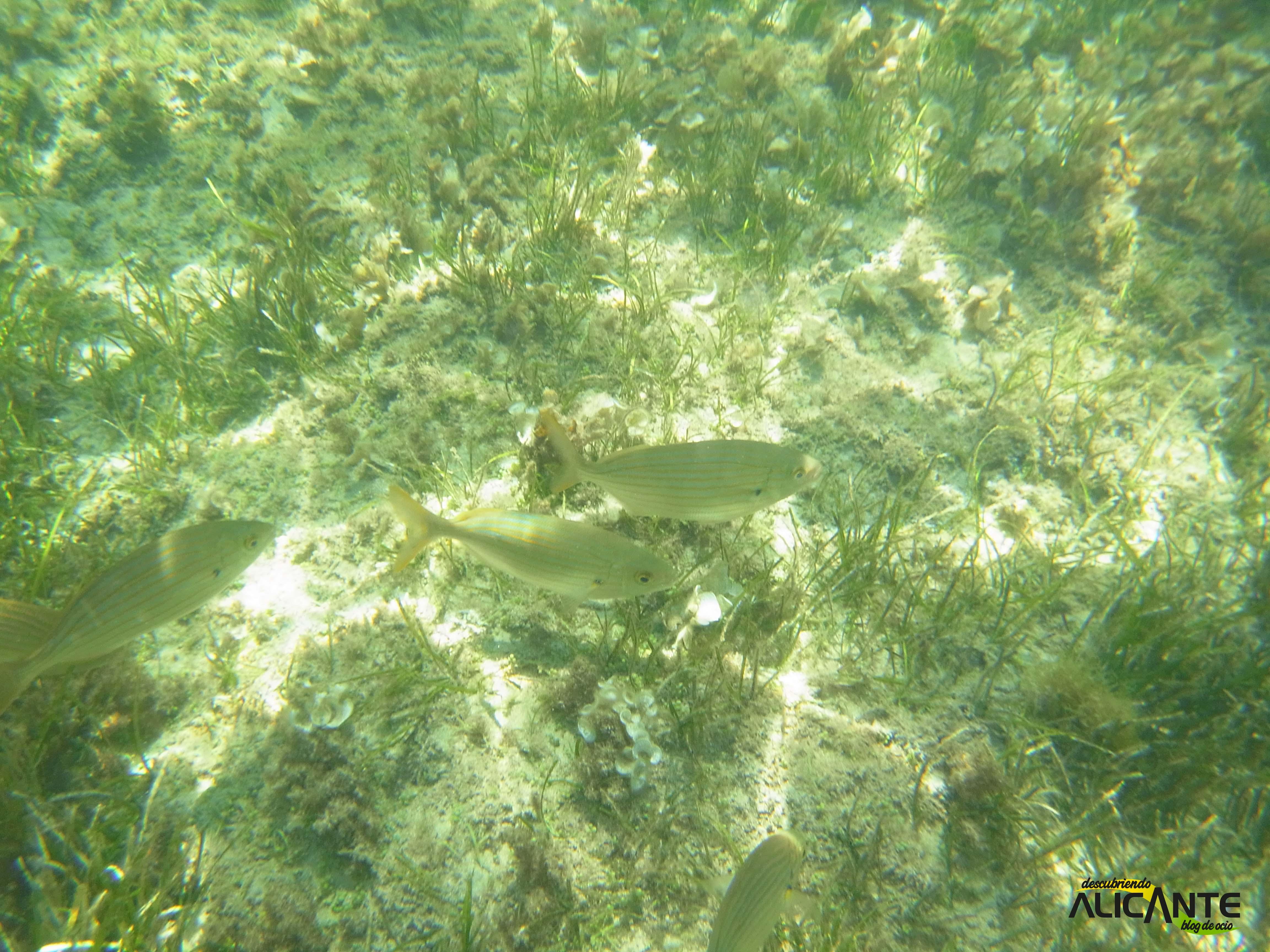 snorkel-en-tabarca-fondo-marino-2014-2
