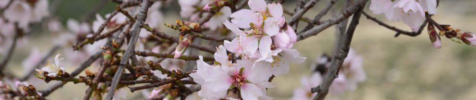 Descubre la Ruta de los Almendros en Flor en