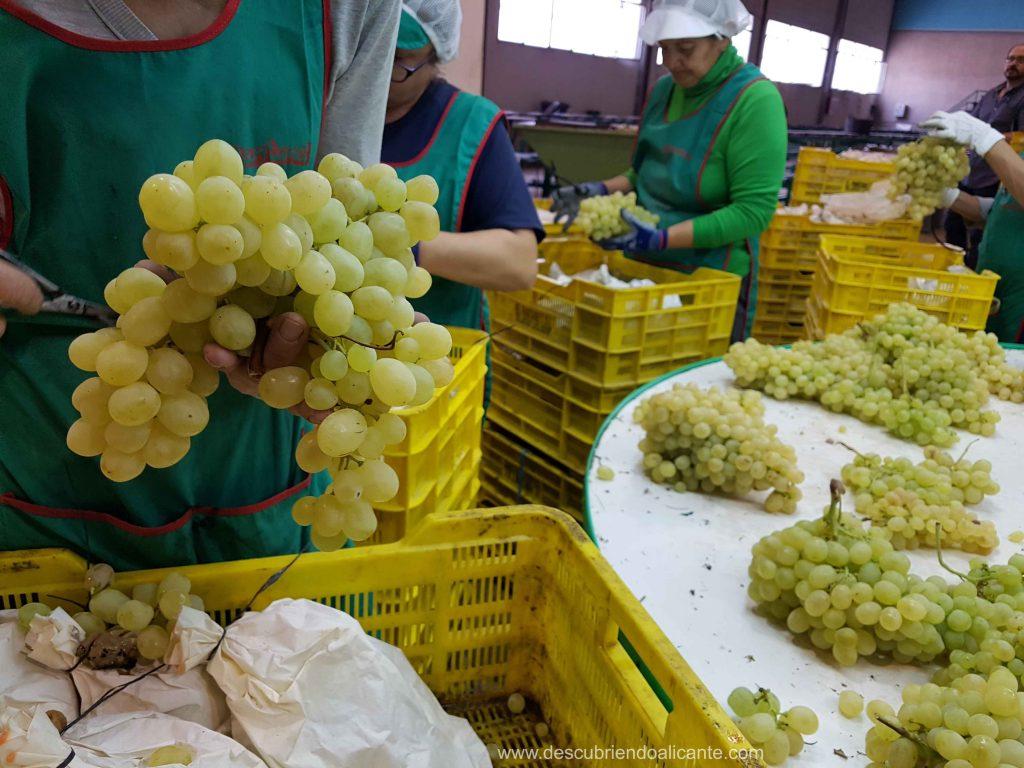 Blogtrip Uvas Vinalopo Seleccionando la uva