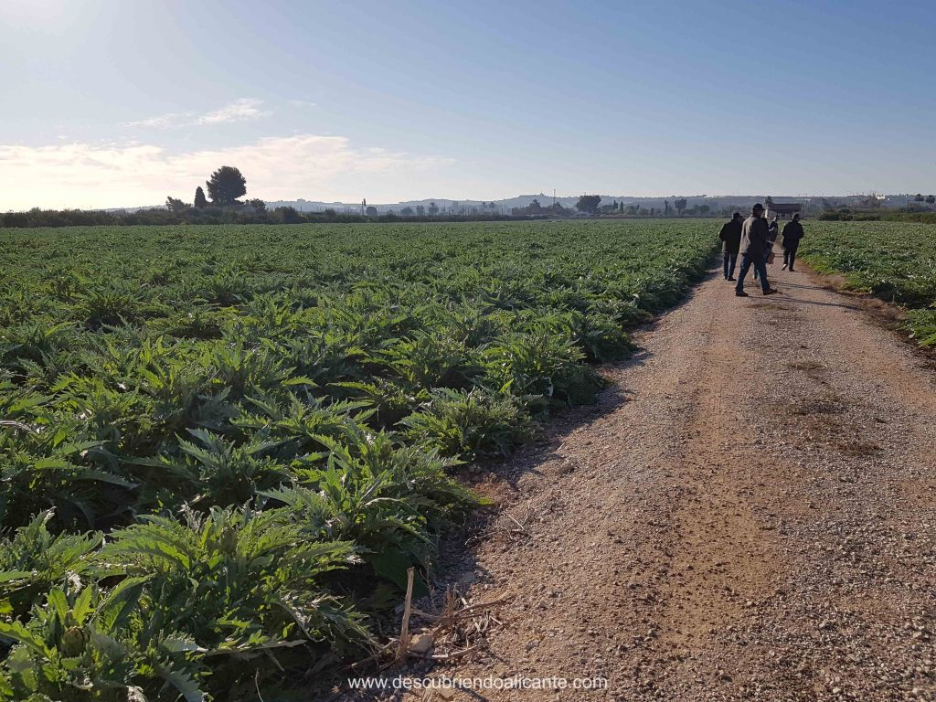 Plantaciones Alcachofa de la Vega baja, Alicante
